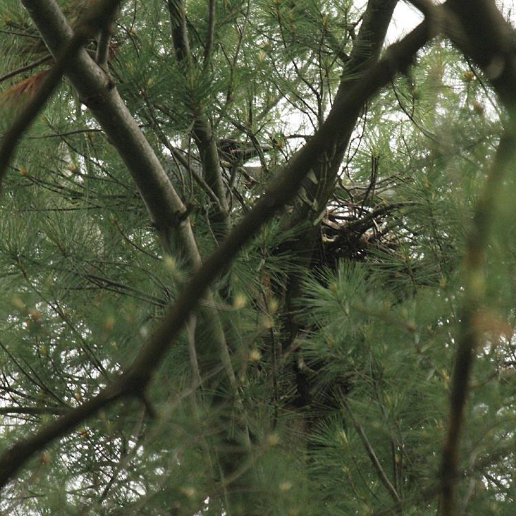 Common Raven (nest) - Corvus corax