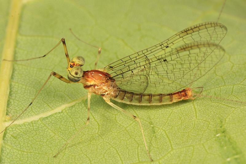 Stenacron interpunctatum (male)