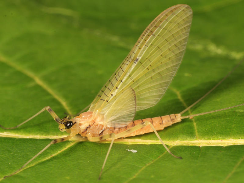 Stenacron interpunctatum (female subimago)