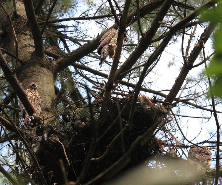 3 young Northern Goshawks (around nest) - Accipiter gentilis