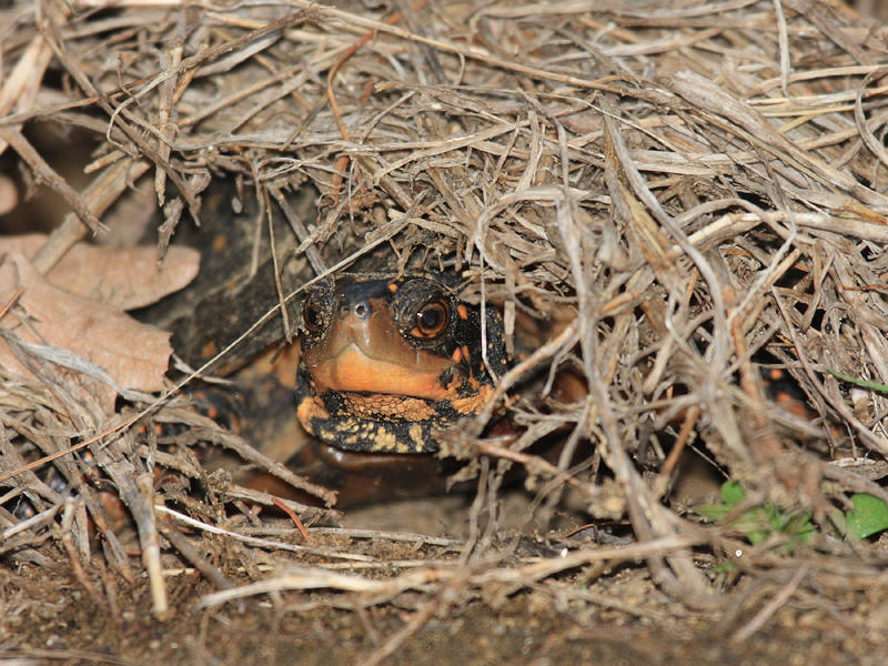 Spotted Turtle (egg laying) - Clemmys guttata