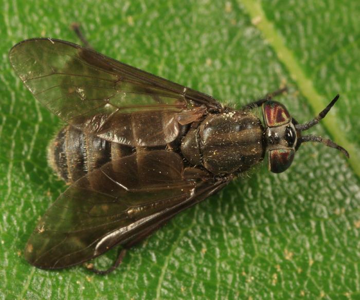 Chrysops fuliginosus