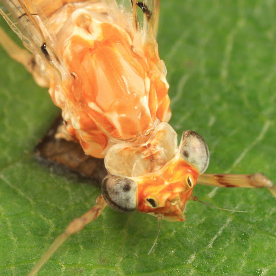 Maccaffertium sp.