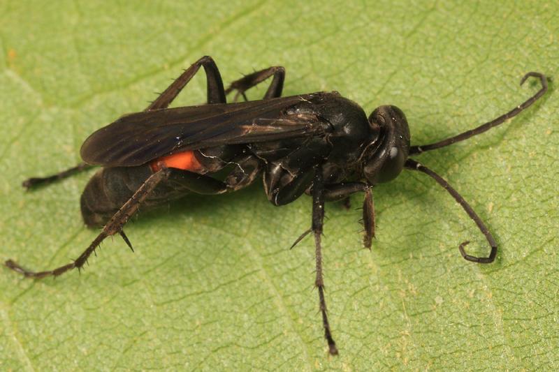 Anoplius americanus americanus