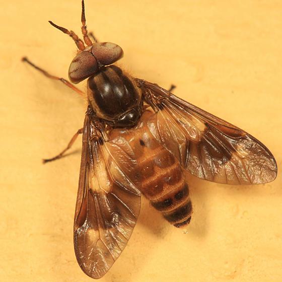 Chrysops brunneus