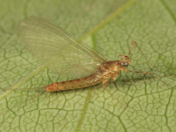 Epeorus fragilis (female)