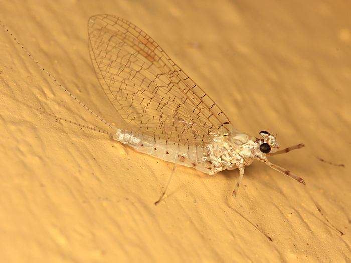 Maccaffertium sp. (female)
