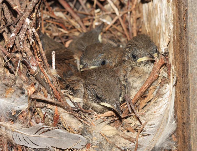 House Wren - Troglodytes aedon (chicks in nest)