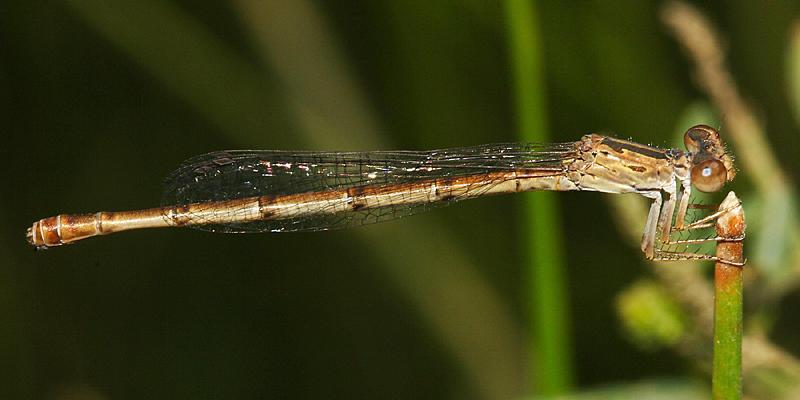 Desert Firetail - Telebasis salva (female)