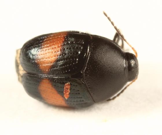 Lexiphanes mexicanus