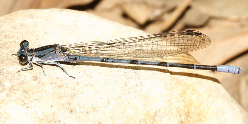 Springwater Dancer - Argia plana (male)