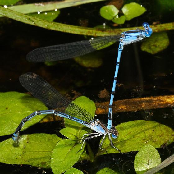 Sierra Madre Dancers - Argia lacrimans (blue form female)