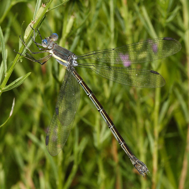 Great Spreadwing - Archilestes grandis (female)