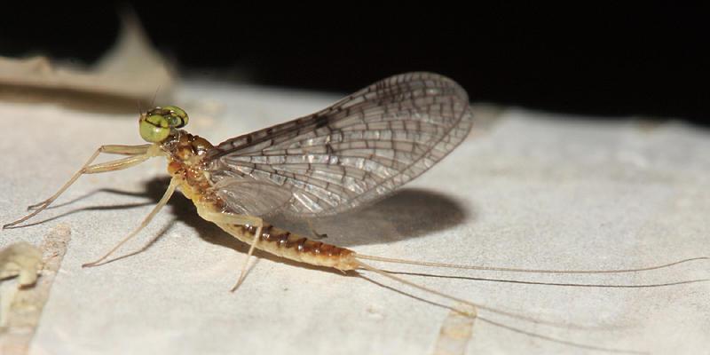 Leucrocuta hebe (male)
