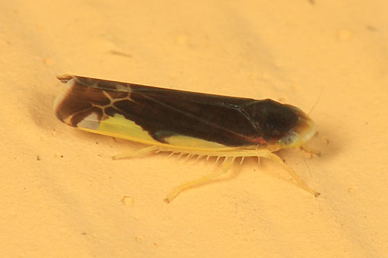 Eupteryx nigra