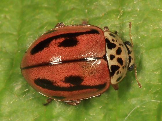 Mulsantina hudsonica