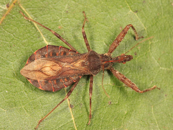 Acholla multispinosa
