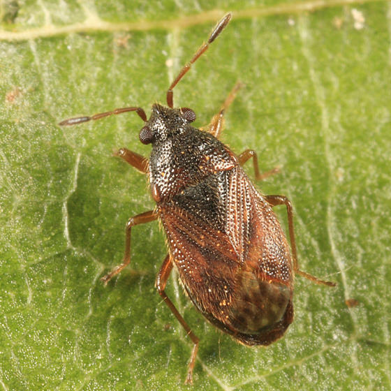 Stygnocoris sabulosus