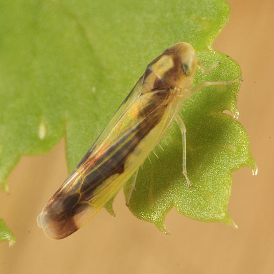 Eupteryx flavoscuta