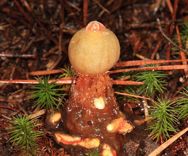 Puff Ball Fungi Photo Gallery by Tom Murray at pbase com