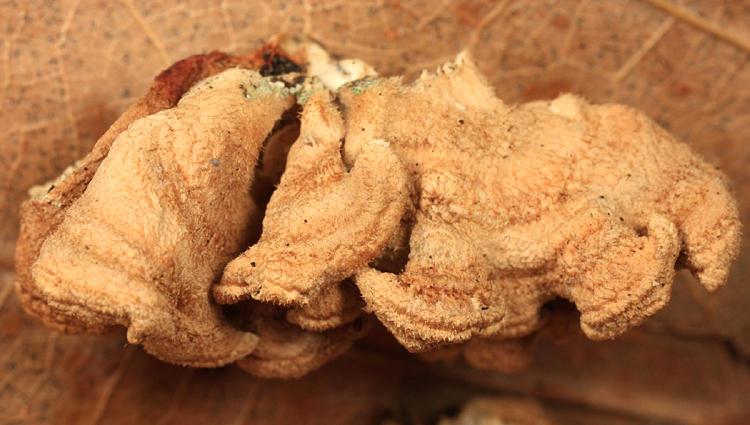 Plicaturopsis crispa (Crimped Gill)