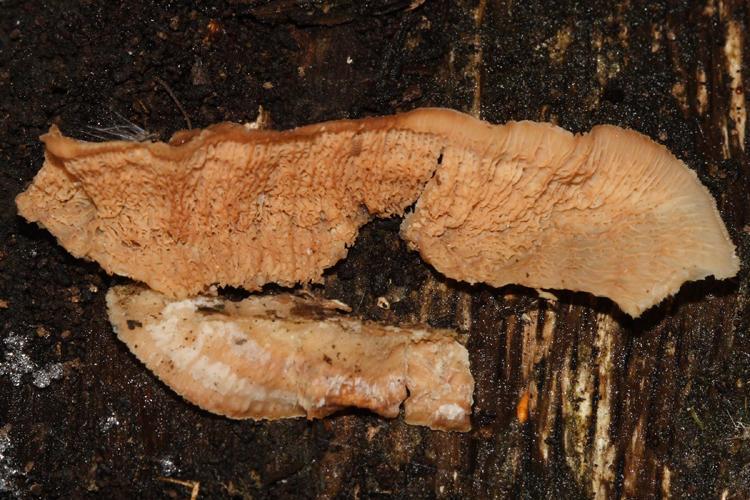 Merulius (=Phlebia) tremellosus