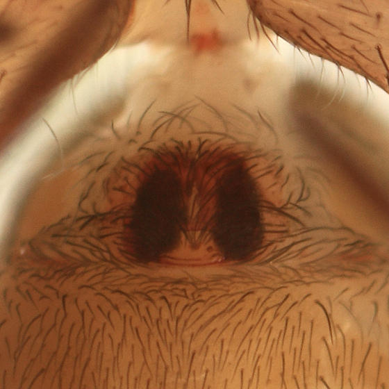 Cicurina brevis (female)