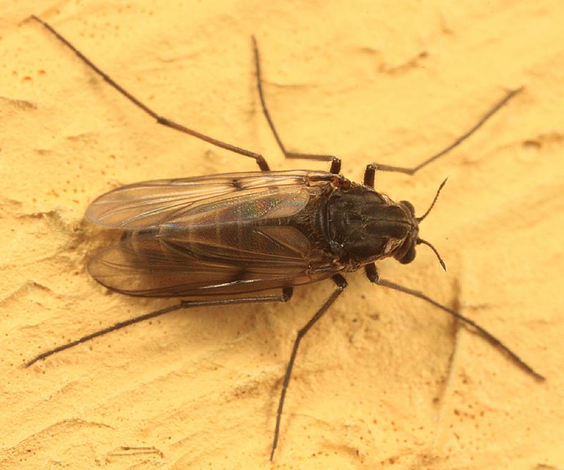 Procladius - subgenus Holotanypus (female)
