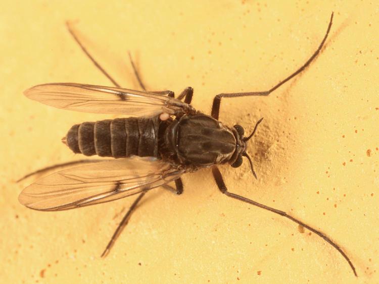 Procladius sp. (female)