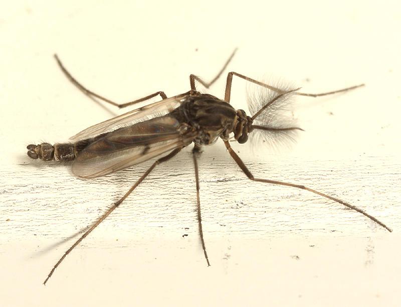 Procladius subgenus Holotanypus