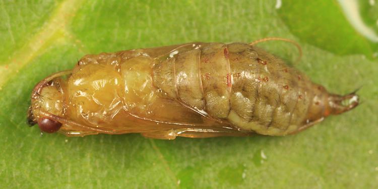 Hydropsychidae (pupa)