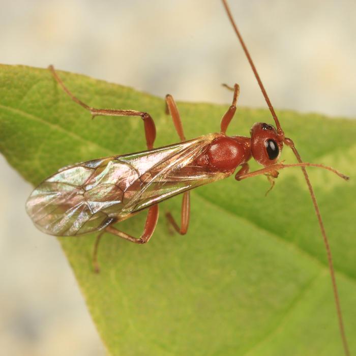Perilissus sp.