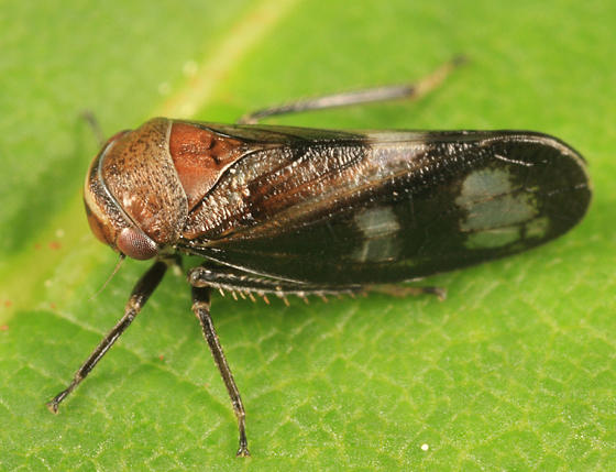 Oncopsis abietis (female)