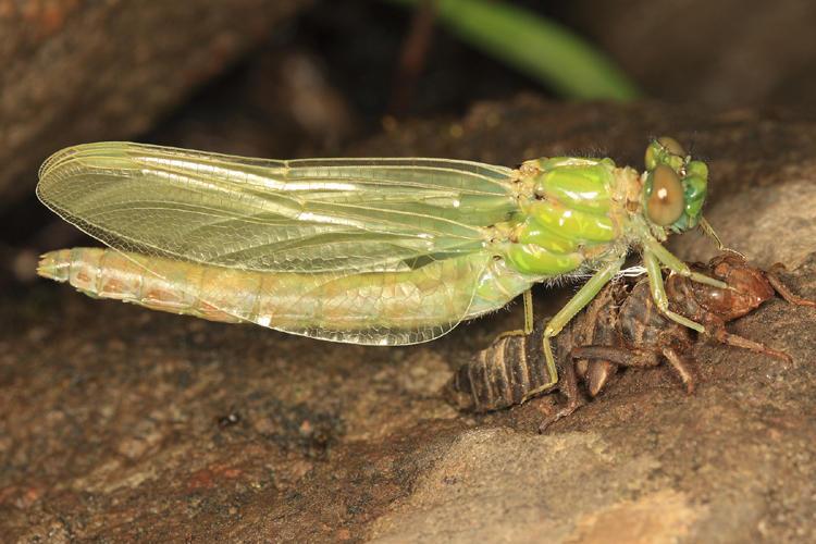 Ophiogomphus sp.