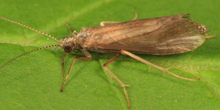 Hydropsyche walkeri (male)