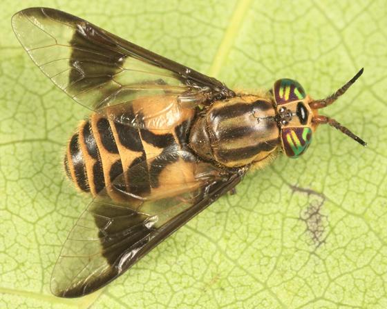 Chrysops callidus