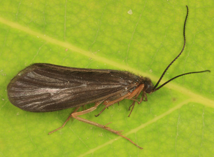 Homoplectra doringa