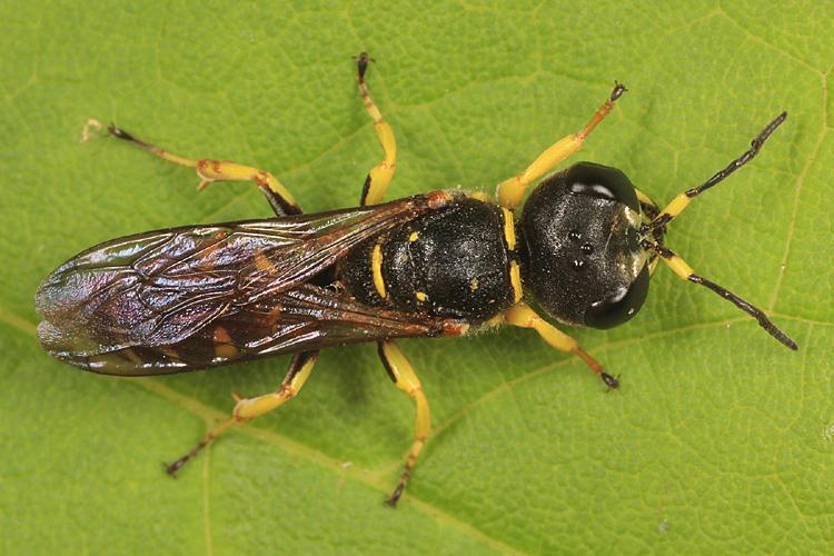 Ectemnius sp.