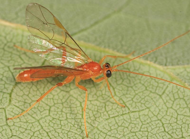 Perilissus sp. (female)