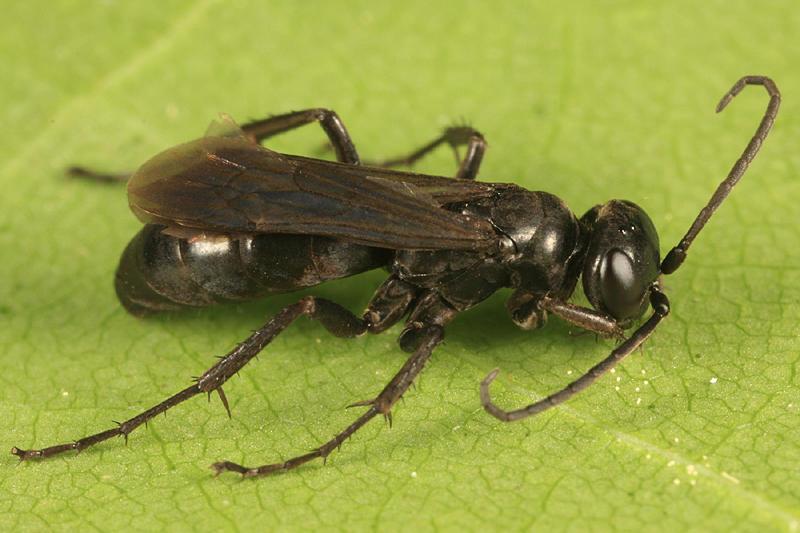 Anoplius sp.