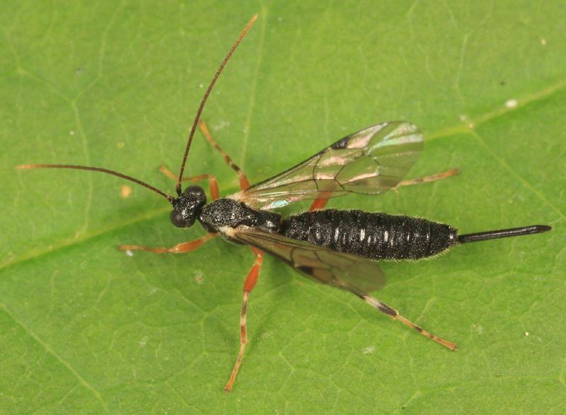 Zaglyptus varipes incompletus