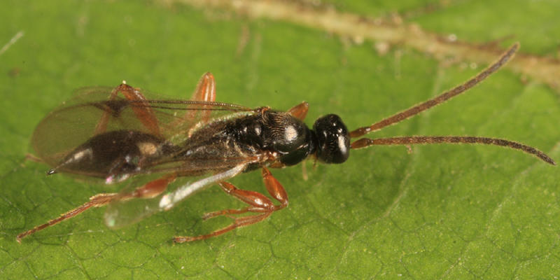 Exallonyx sp. (male)