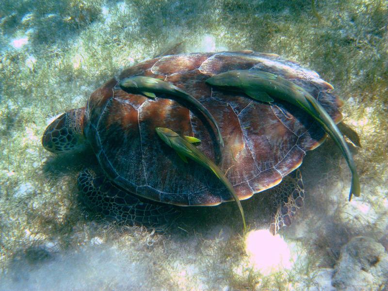 Green Turtle - Chelonia mydas (with Remora fish)