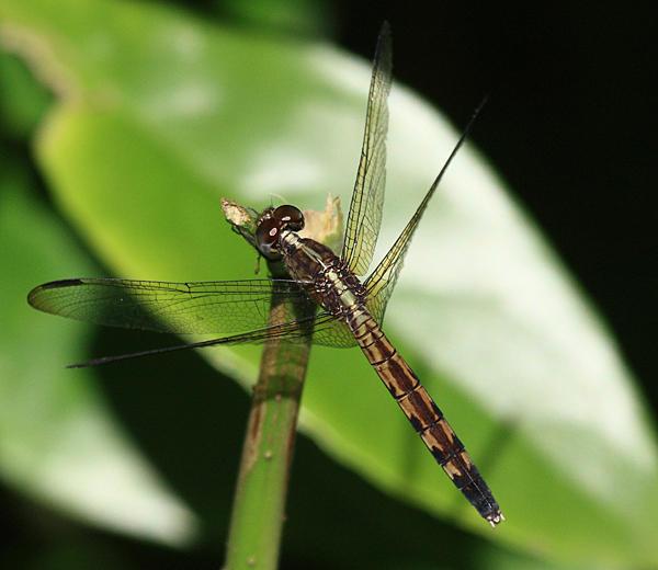 Band-winged Dragonlet - Erythrodiplax umbrata (female)