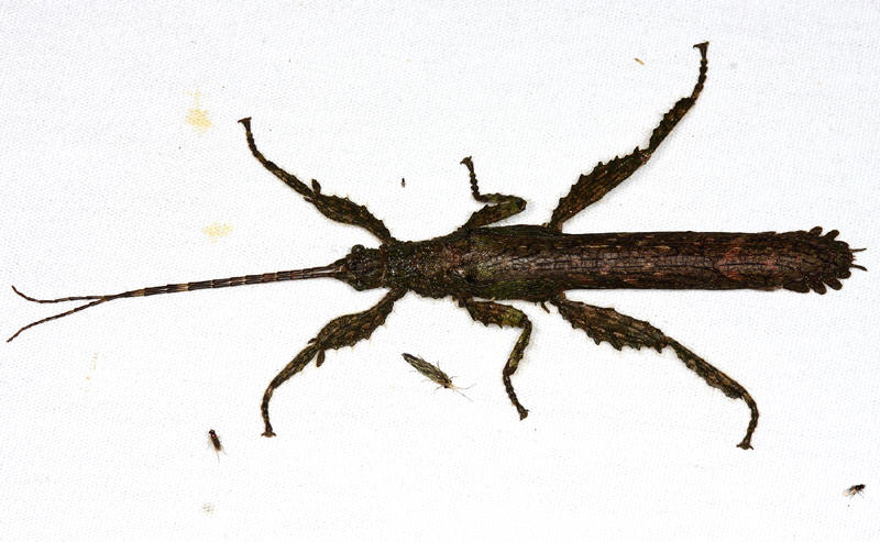 Stick Insect - Phasmida