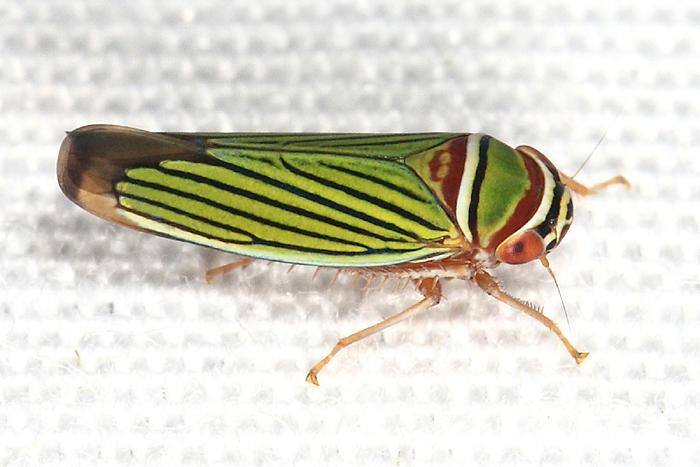 Tylozygus fasciatus
