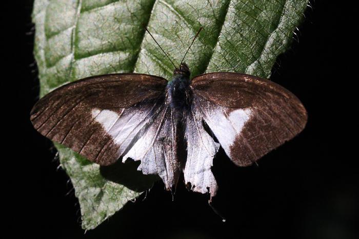 White-banded Satyr - Pareuptychia metaleuca