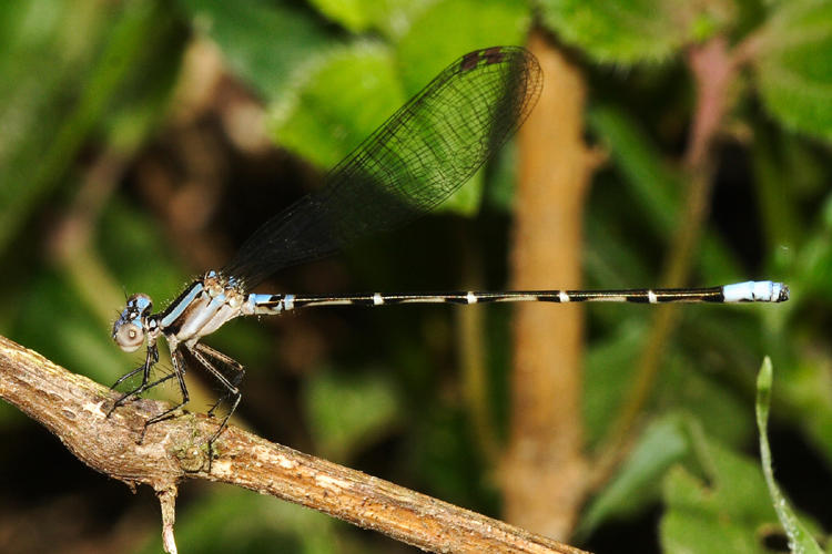 Argia sp. (young male)