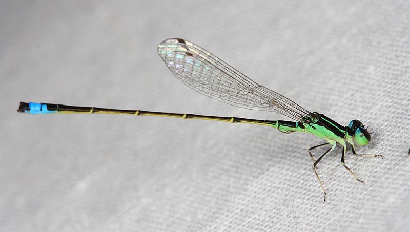Ischnura capreolus (male)