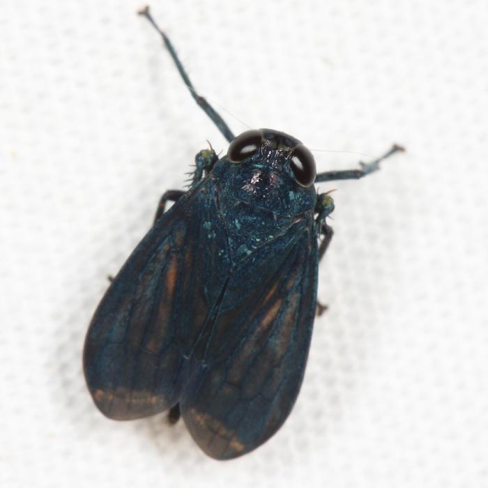 Coelidiinae